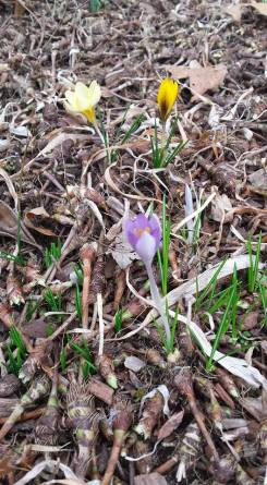 Crocus pushing thru the mini white iris patch.