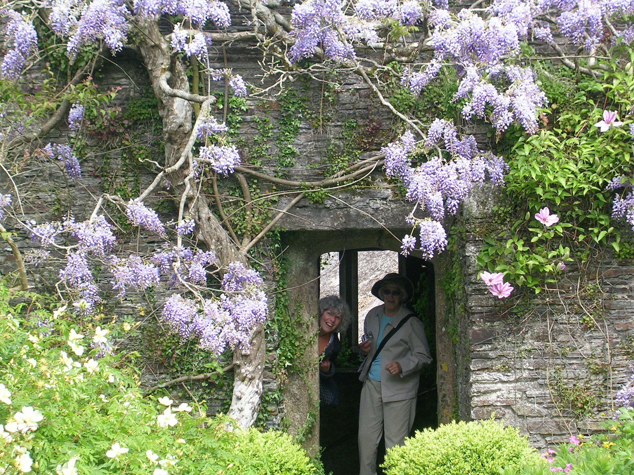 Wisteria Falls Wallpaper How To Grow Wisteria Vine Growing And Caring For