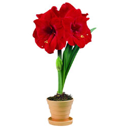 Amaryllis Merry Christmas available from www.recycleworks.co.uk
