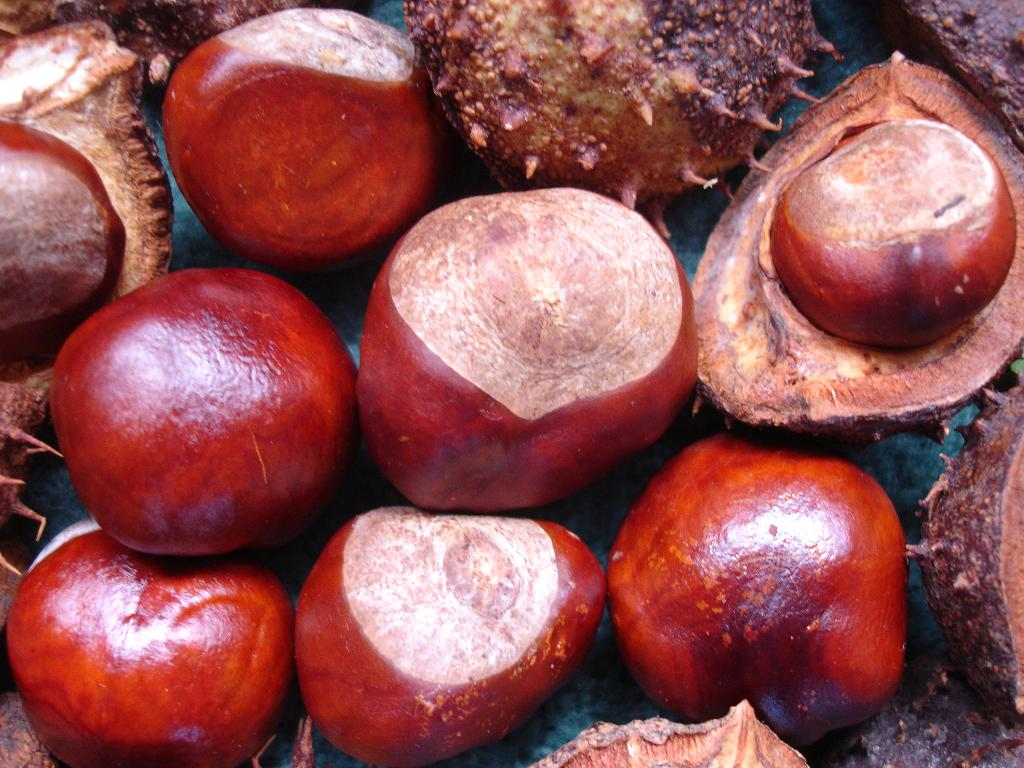 plant a conker and grow horse chestnut tree for the future