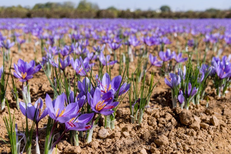 Growing saffron outdoors