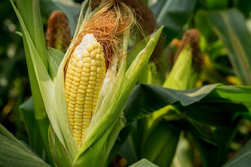 When is your corn ready for picking