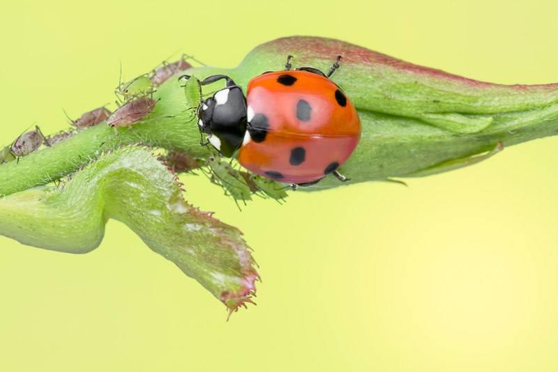 how does the ladybug menu look like