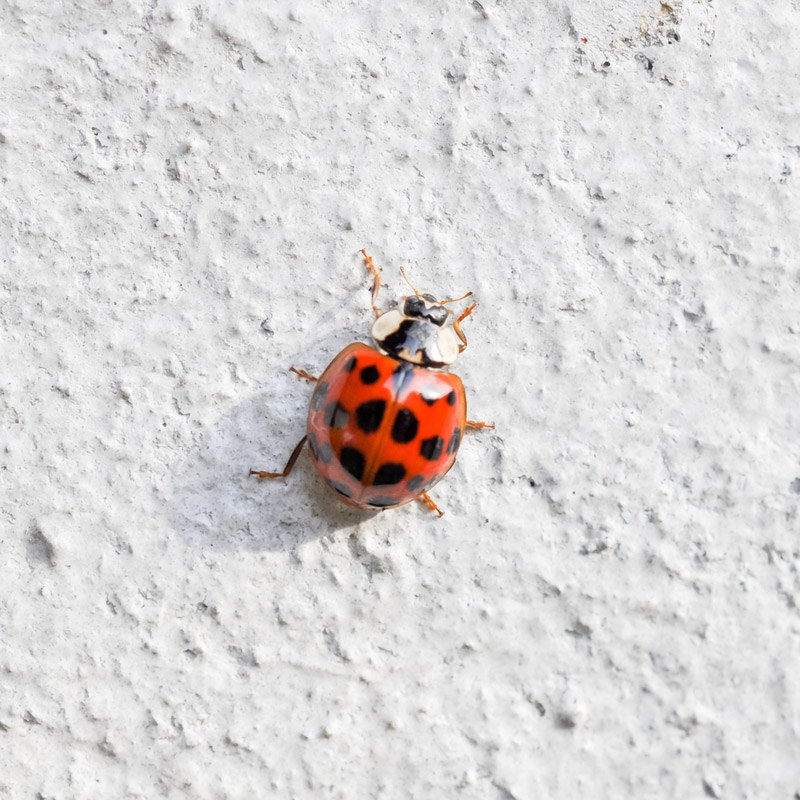 Why do ladybugs infest your house during the fall