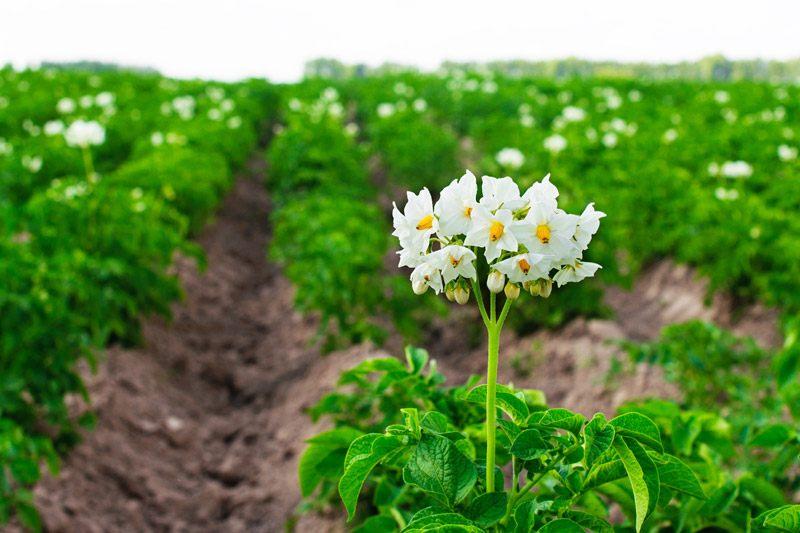 Plant Potatoes