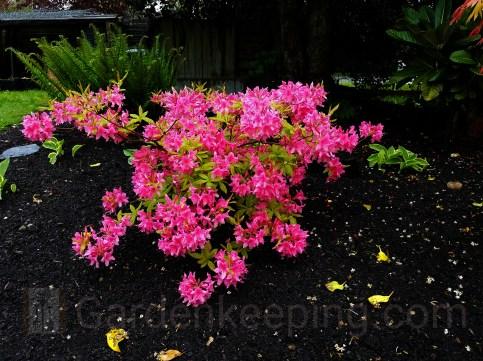 Rosy Lights Azalea