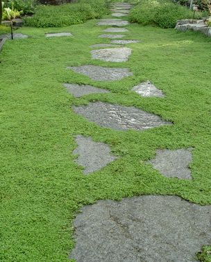 Corsican Mint_ground_cover