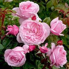 kissme roses
