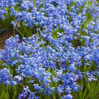 blue scilla