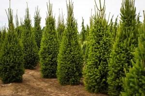 columnar hedge tree