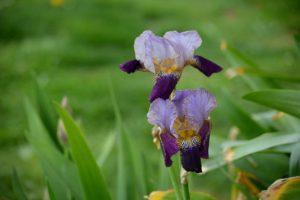 iris-1653054_1920-1