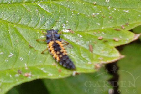Asparagus Beetle ID Amp Easy Control Garden Mentors