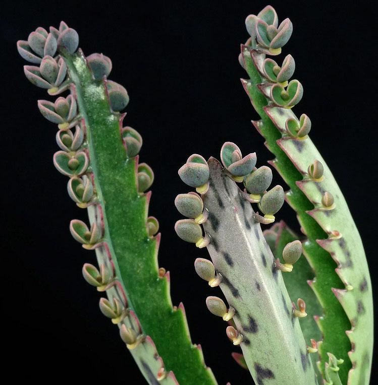 Бриофиллюм Дегремона (Bryophyllum daigremontianum)