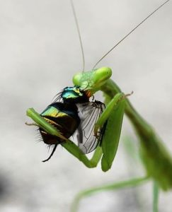 Where Can I Buy An Orchid Mantis : where, orchid, mantis, Praying, Mantis, Should, Them?, Garden, Myths