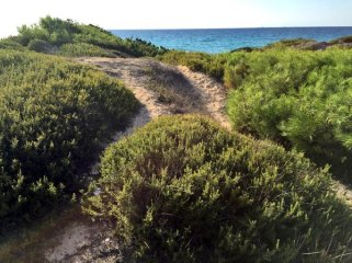 Rosemary growing wild on a beach