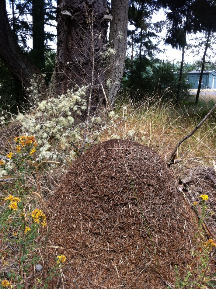 Ant Hill in the woods, Washington