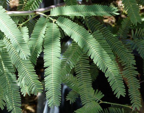 Prosopis hybrid Hybrid Mesquite  Chilean Mesquite