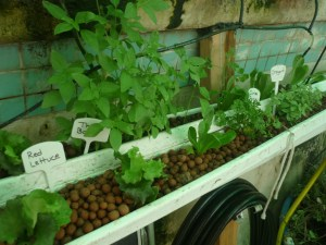 Growing in rain gutters and hydroton