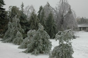 White pines showed frequent damage