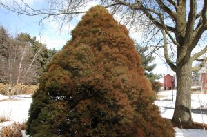 Winter burn on dwarf Alberta spruce in Michigan
