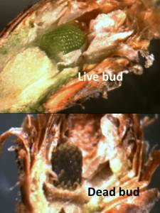 Buds from conifers with severe needle browning may be alive (top) or dead (bottom).