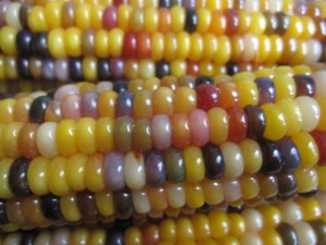 multicolored corn