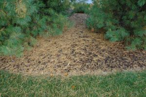 Pine needles accumulating on the ground.
