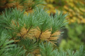 White pine needles often turn bright yellow as they senesce.