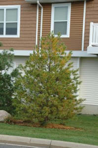 White pine trees often grab homeowners attention as they begin to drop their needles in the fall.