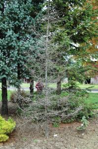 The owner of this Cedrus deodora 'Polar winter' (zone 6) had gotten away with pushing their zone for 10 years before things came to grinding halt in 2014.