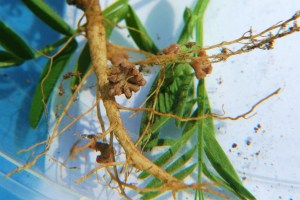 nodules on roots of cover crops