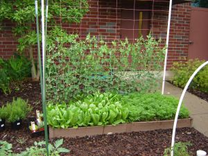 A trellis in the back of a raised bed supports peas