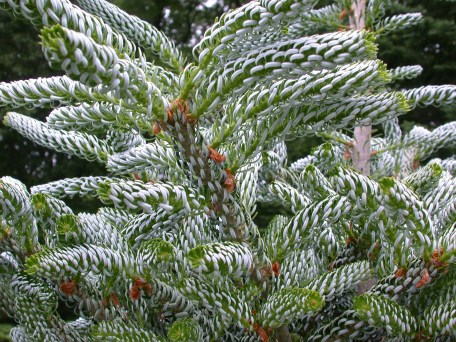 Foliage of 'Silberlocke' Korean fir