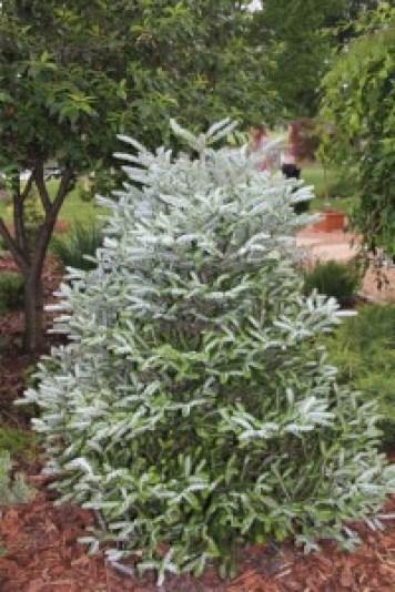 'Silberlocke' Korean fir