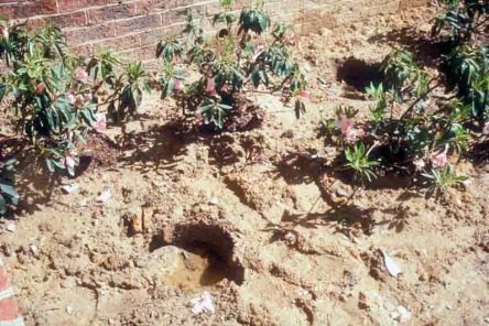 Azaleas planted in poorly drained, heavy clay soil will not live long