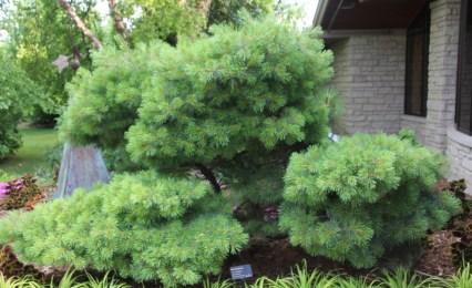 'Blue Shag' white pine