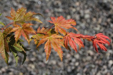 Closeup of leaves of NORTH WIND® maple (Acer 'IsINW')