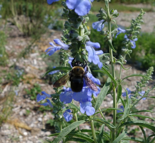 This carpenter bee looks like it is pollinating. It isn't.