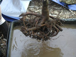 Interlocking redbud roots
