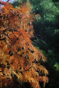 """Taxodium distichum """"Pendens' cones"""