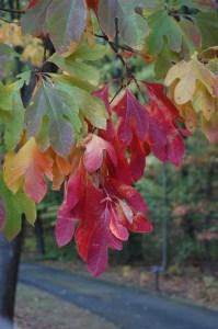 Sassafras albidum fall color