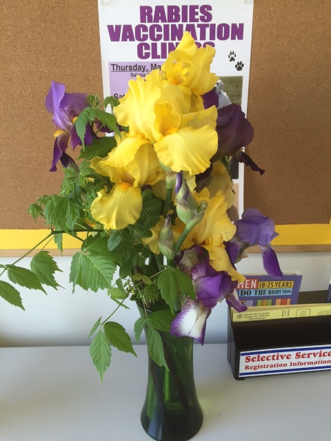 Bearded and Siberian Iris with box elder branches on May 8, 2015