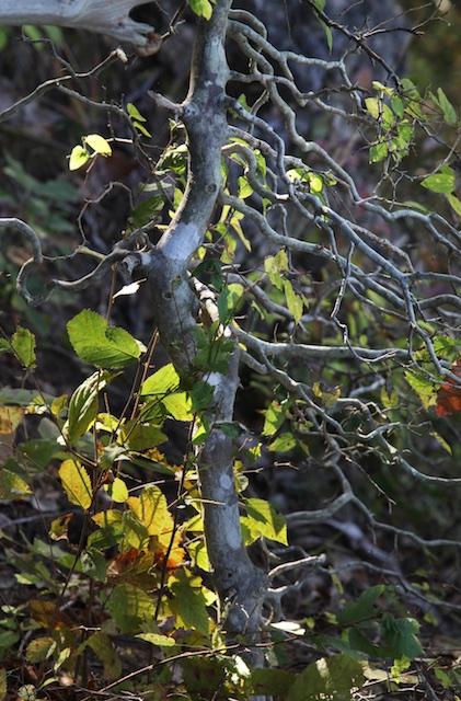 Bark of dwarf hackberry. Mike Hayman photo.