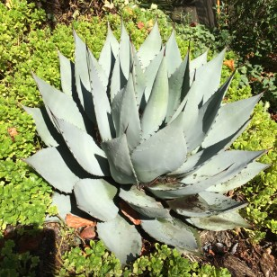 The Agave parryi 'Hauchucensis' that I planted in place of the A.a. Media-Picta that was stolen earlier.