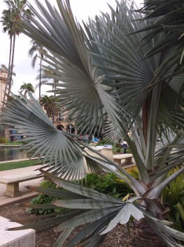 The very large leaves of Bismarckia nobilis, from Madagascar, has a palmate structure with many fused leaflets, their veins running from their tip to each leaf's base at its hastula atop their stem. This one is in San Diego's Balboa Park. I love this amazing palm. Check out Louis the Plant Geek's page on it!