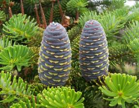 Korean Fir - pollinated female cones - credit Jan Maksymillian Mehlich