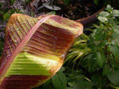 This Banana Siam Ruby, a tender but beautiful form with a lot of red through out the plant. It has the characteristic venation of Bananas each evenly separated from the next extending out to the leaf margin.