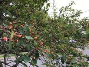 Typically the fruits ripen by June, hence one of its common names, 'Juneberry'. They pass through a red stage and ripen almost purple/black. They are very sweet with seeds like scaled down apples.