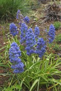 Muscari 'Blue Spike', still flowering after the rest are gone