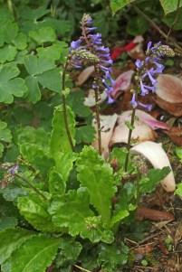 Wulfenia schwarzii